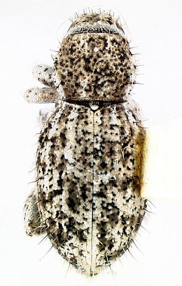 Sapotes longipilis Van Dyke - Sapotes longipilis
