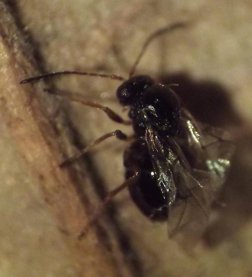 Andricus ignotus - female