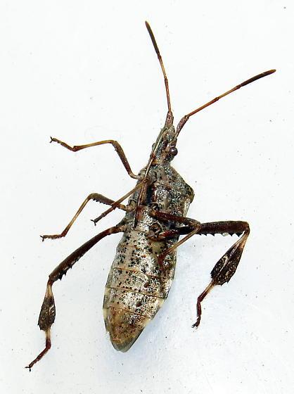 Leaf-footed bug - Leptoglossus clypealis