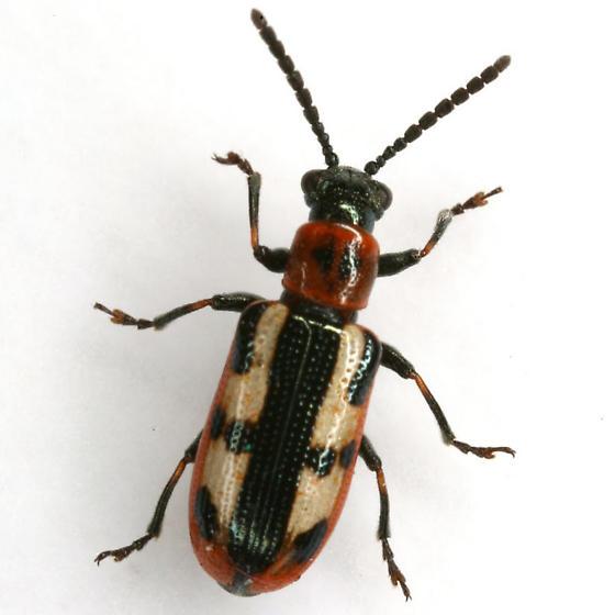 Crioceris asparagi (Linnaeus) - Crioceris asparagi