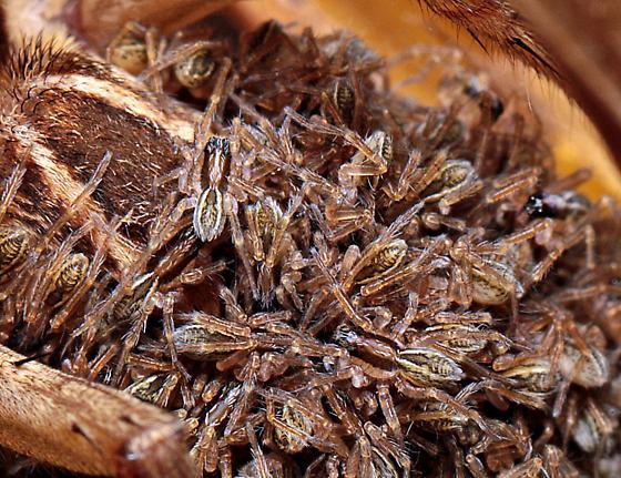 Rabidosa sp. - Rabidosa - female