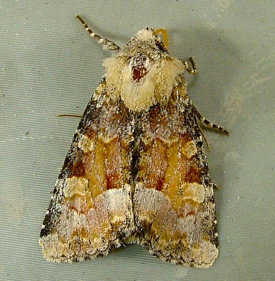 2074 Oligia rampartensis (violacea) - Violet Brocade Moth 9414 - Oligia rampartensis