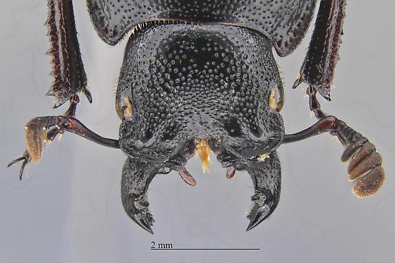 Platycerus marginalis
