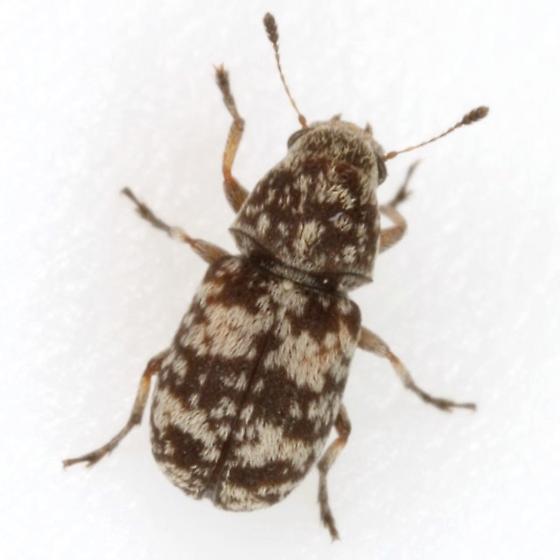 Ormiscus sp. 12 - Ormiscus