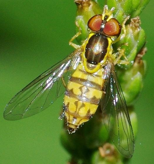 Which  species of Syrpidae? - Toxomerus geminatus - female