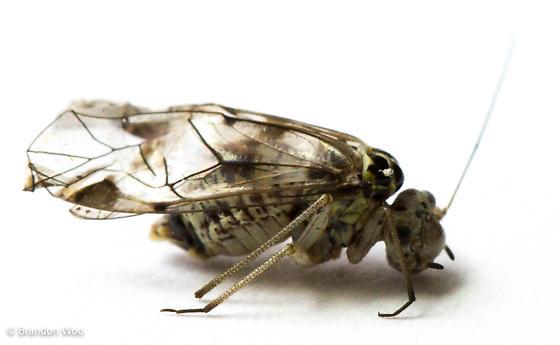 Metylophorus novaescotiae