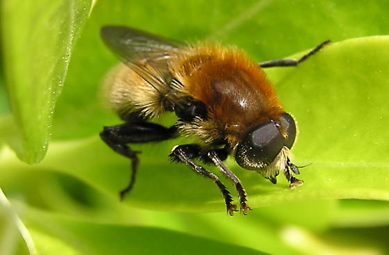 A bee to ID. - Merodon equestris