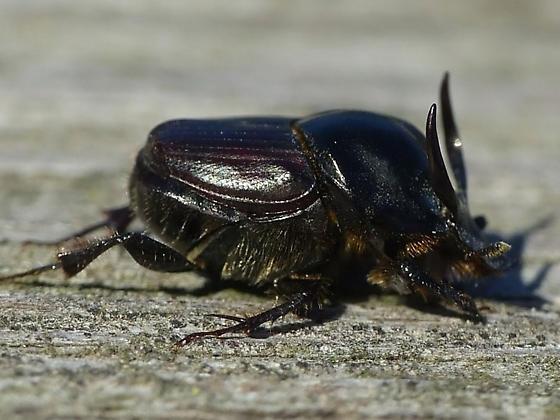 Onthophagus taurus (male) - Onthophagus taurus - male
