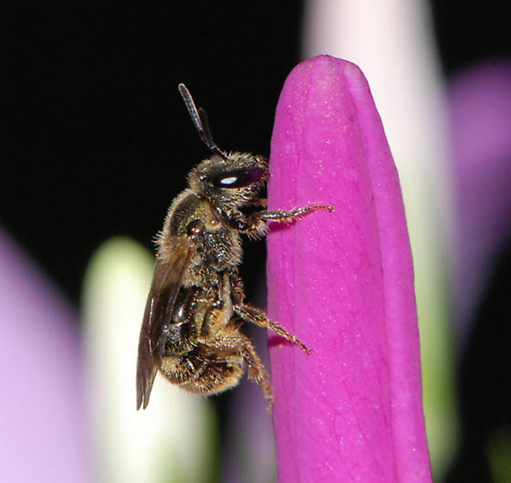 Halictidae (Sweat Bees) - Lasioglossum bruneri - female