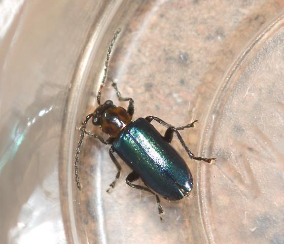 Beetle on yucca - Pseudoluperus maculicollis