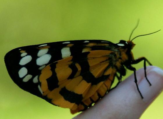 Is this a Platyprepia Virginalis--Ranchman's tiger moth? - Arctia virginalis