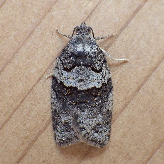 Tortricidae: Syndemis afflictana - Syndemis afflictana