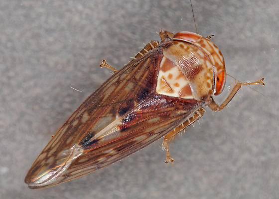 leafhopper - Eutettix