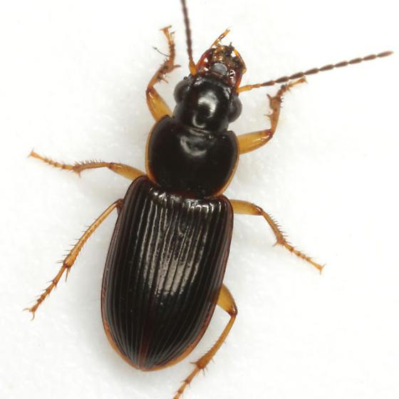 Stenolophus ochropezus (Say) - Stenolophus ochropezus