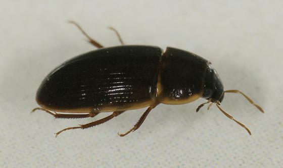 Hydrophilidae - Helocombus bifidus