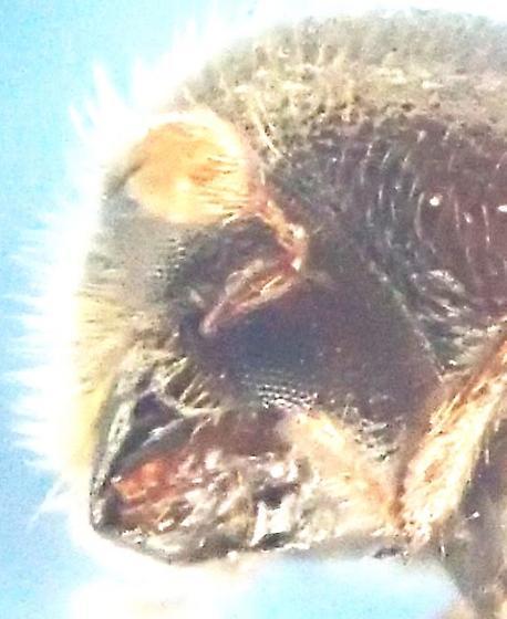 Xyloterinus politus (?) - Xyloterinus politus
