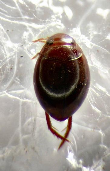 Water Beetle - Desmopachria