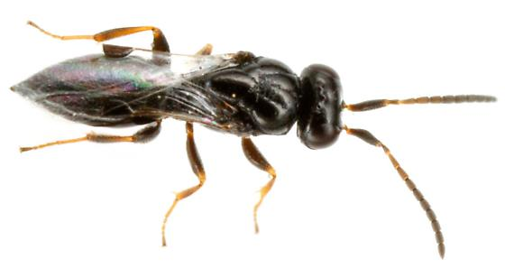 Parasitic Apocrita - Trichosteresis glabra