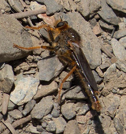 Robber Fly (Asilidae - Stenopogoninae - Stenopogon rufibarbis) - Stenopogon rufibarbis - male