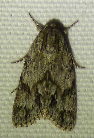 Acronicta americana - American Dagger Moth - Acronicta americana