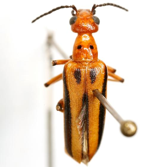 Pyrota discoidea LeConte - Pyrota discoidea
