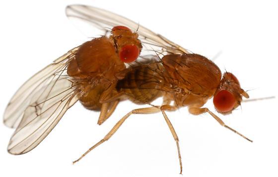 Drosophila immigrans? - Drosophila immigrans - male - female