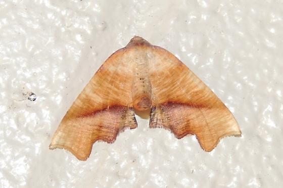 Plagodis fervidaria – Fervid Plagodis Moth? - Plagodis fervidaria