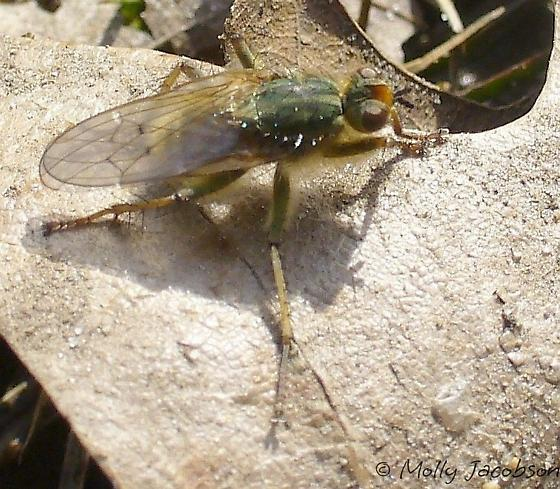 fly - Scathophaga stercoraria