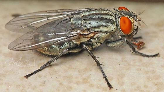 Sarcophaginae spp. - Flesh Fly