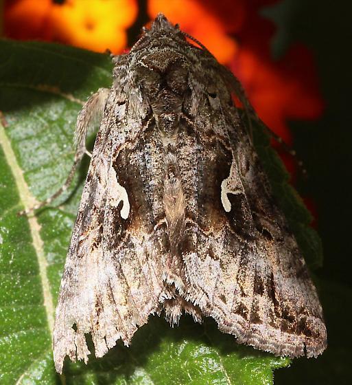 Moth on Lantana - Autographa californica