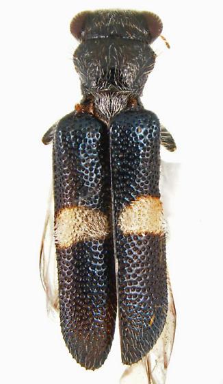 Phyllobaenus - Phyllobaenus niveifascius