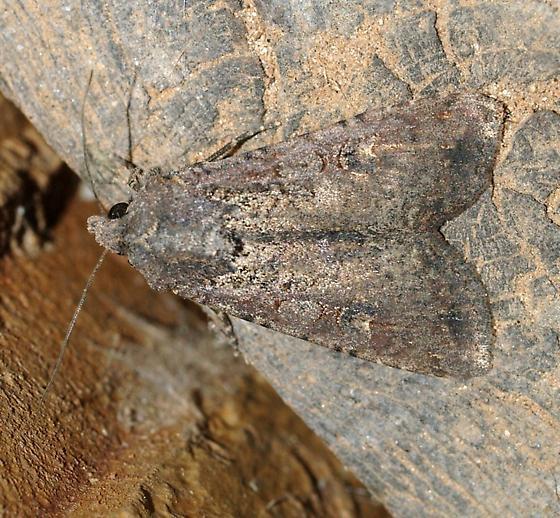 Moth 32 - Peridroma saucia