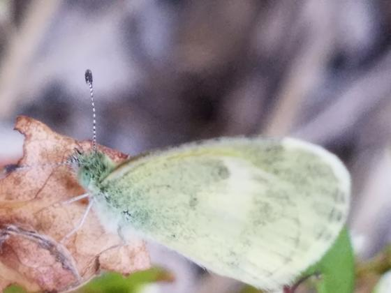 Tiny Green Butterfly by Creek - Nathalis iole