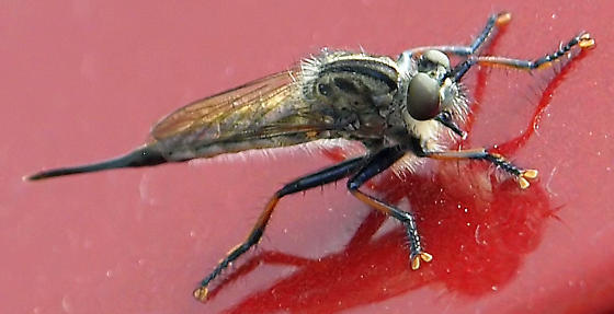Which robber fly is this? - Efferia aestuans - female