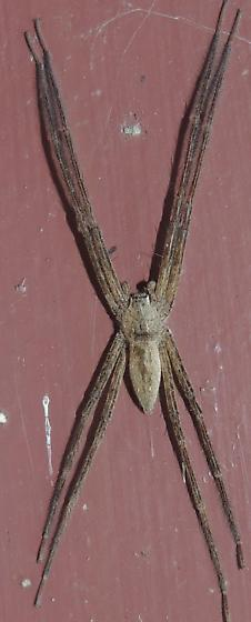 Long legged spider sp. - Pisaurina mira - male