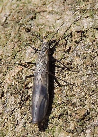 Tree Cricket 8773