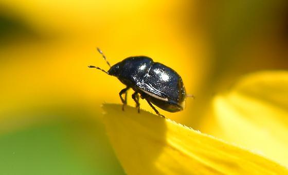 Tiny Black Beetle - Corimelaena