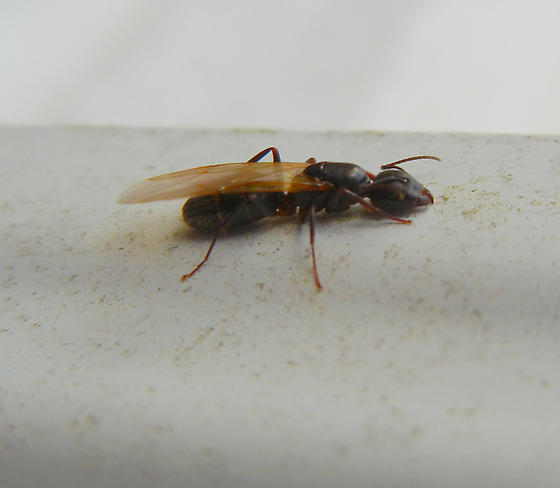 Winged Ant Looking Bug Camponotus Nearcticus Bugguide Net