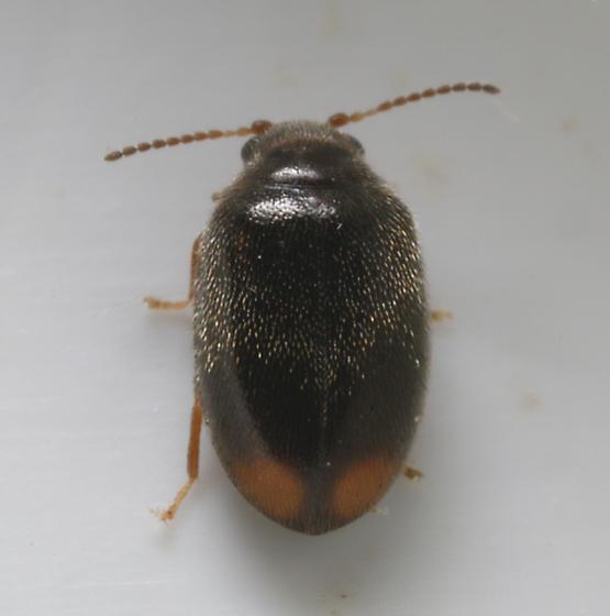 Small beetle - Contacyphon