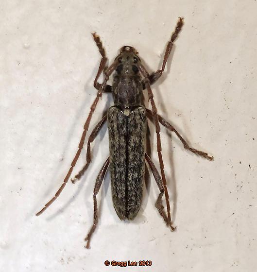 Anelaphus parallelus - Oak Twig Pruner - Anelaphus parallelus