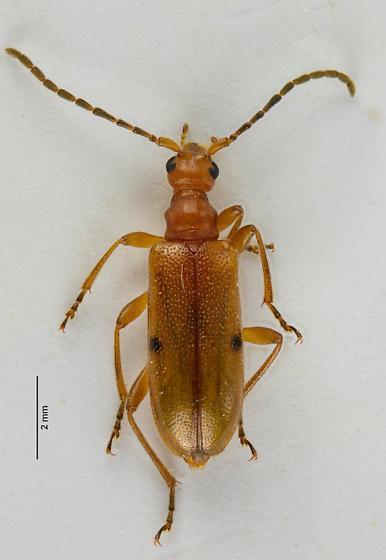 Long-horned - Pidonia quadrata