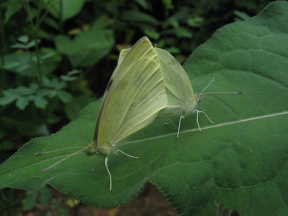 Mating white butterflies - Pieris rapae - male - female