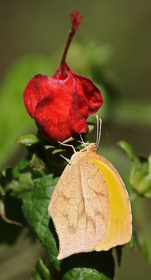 Tailed Orange (Pyrisitia proterpia) - Pyrisitia proterpia