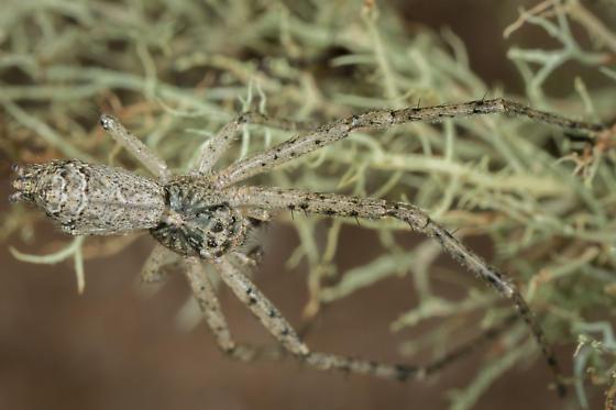Tmarus sp.? - Tmarus angulatus - male
