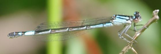 Damselfly - Enallagma aspersum - female