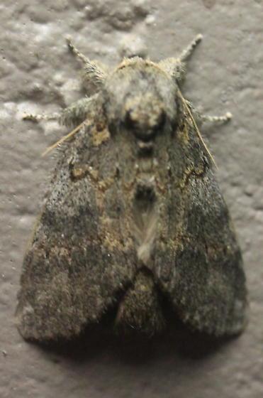 Noctuidae sp. - Peridea angulosa