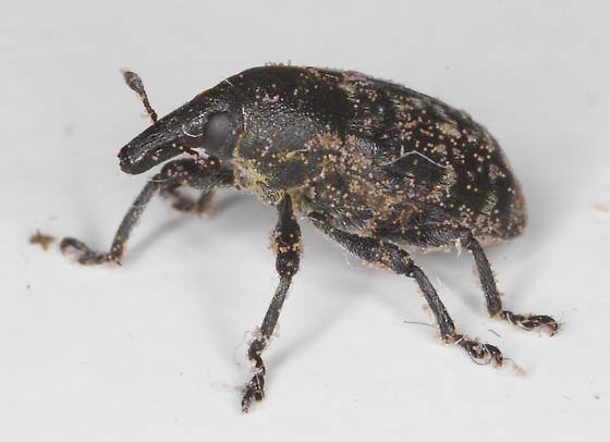 Weevil - Larinus turbinatus