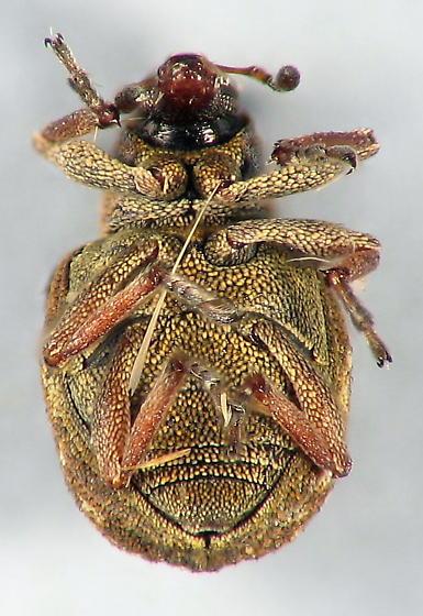 stout little weevil - Stenopelmus rufinasus
