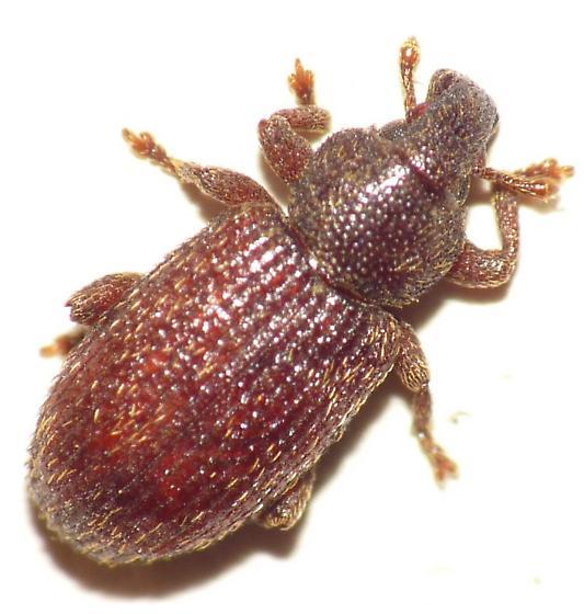 Weevil - Hormops abducens