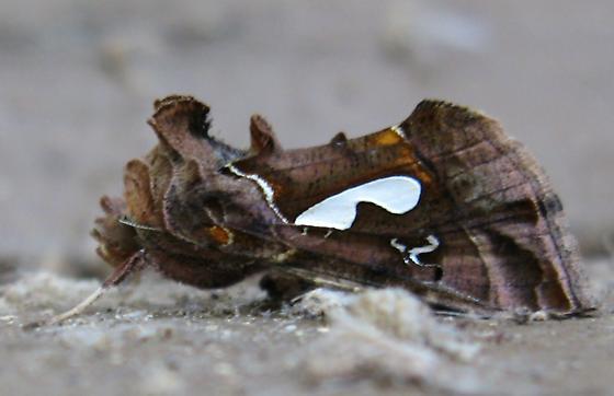 Looper Moth? - Megalographa biloba